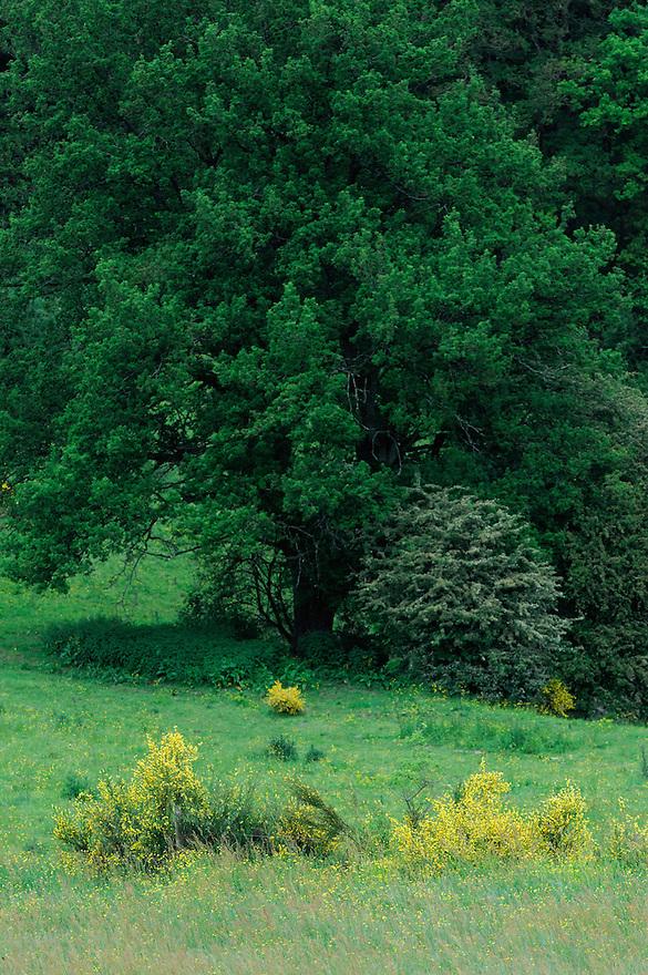 (Cytisus scoparius) Common Broom and Oak Tree (Quercus), Ardennes, Luxembourg
