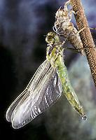 Vierfleck-Libelle, Vierfleck, Schlupf, Metamorphose, Libellula quadrimaculata, Four-spotted Libellula, Four-spotted Chaser, Four-spotted Skimmer, metamorphosis, eclosion, La Libellule à quatre taches