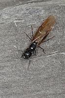 Braunschwarze Rossameise, Riesenameise, Ross-Ameise, Riesen-Ameise, Roßameise, Camponotus ligniperdus, Camponotus ligniperda, carpenter ant