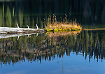 Golden grass growing on a floating log at Spruce lake in North Idaho