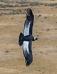 Chile, Patagonia, Andean condor (Vultur gryphus)