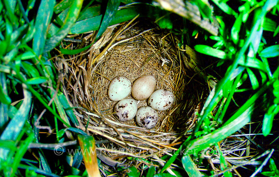 Grauammer, Ei, Eier in Nest, Gelege, Grau-Ammer, Miliaria calandra, Emberiza calandra, corn bunting, egg, eggs, Le Bruant proyer, Proyer d'Europe