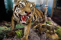 Stuffed tigers stand in a display in a souvenir shop at the Siberian Tiger Park in Haerbin, Heilongjiang, China.  The Siberian Tiger Park is described as a preserve to protect Siberian tigers from extinction through captive breeding.  Visitors to the park can purchase live chickens and other meat to throw to the tigers.  The Siberian tiger is also known as the Manchurian tiger.