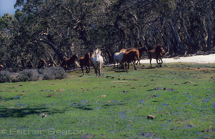 Wild horses, brumbies, galloping across high country meadow. Mt Buller area, Snowy Mountains, Victoria