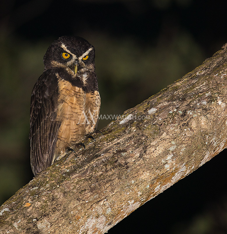 We went out looking for Black and white owls, and found a pair of Spectacled owls instead!