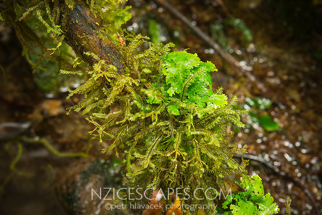 Mosses and lichens on forest floor on West Coast, New Zealand