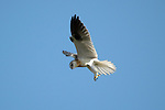 Brown Goshawk -Accipter fasciatus