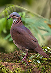 Ecuador, Andean cloud forest, white-throated quail-dove (Zentrygon frenata)