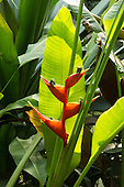 Red Heliconia sp. flower. Eden Project, Cornwall, England