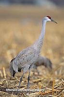 00882-02718 Sandhill Cranes (Grus candensis) feeding in corn field near Kearney   NE
