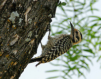 Ladder-backed woodpecker adult female on tree trunk