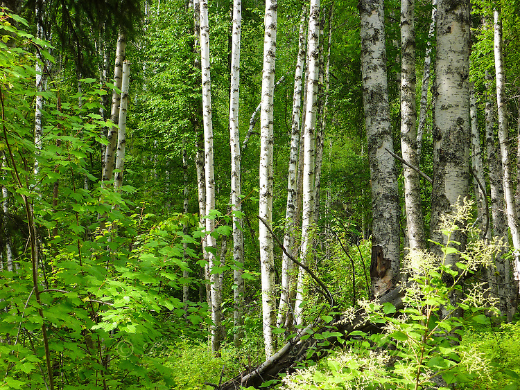 Aspen forest in spring in Montana's Kootenai. White bark contrasting with green leaves.