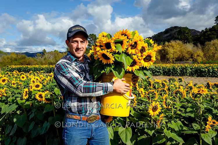 Fresh picked sunflowers at Avila Valley Barn, farm stand and petting zoo in Avila Valley, San Luis Obispo County, California (Jake)