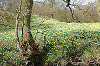 A profusion of wild daffodils carpet the valley floor every Spring in Farndale, the North Yorkshire Moors, England.