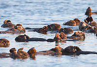 Enhydra lutris nereis, Sea otters, resting on the surface by lying on their backs, in a group known as a raft,, Elkhorn Slough National Estuarine Research Reserve, Moss Landing, California, USA
