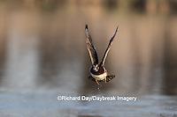 00715-08918 Wood Duck (Aix sponsa) male in flight,  Marion County, IL