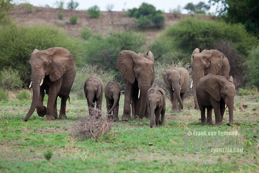 African Elephant (Loxodonta africana). Vulnerable species...Mashatu Game Reserve..Tuli block, Botswana..November 2010.