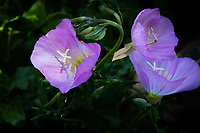 Delicate lavender colored flowers against a background of green leaves. A surprise in a regional park parking lot.