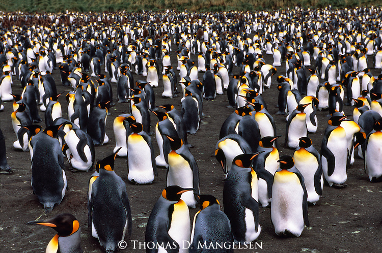 A king penguin colony in Gold Harbour on South Georgia Island.