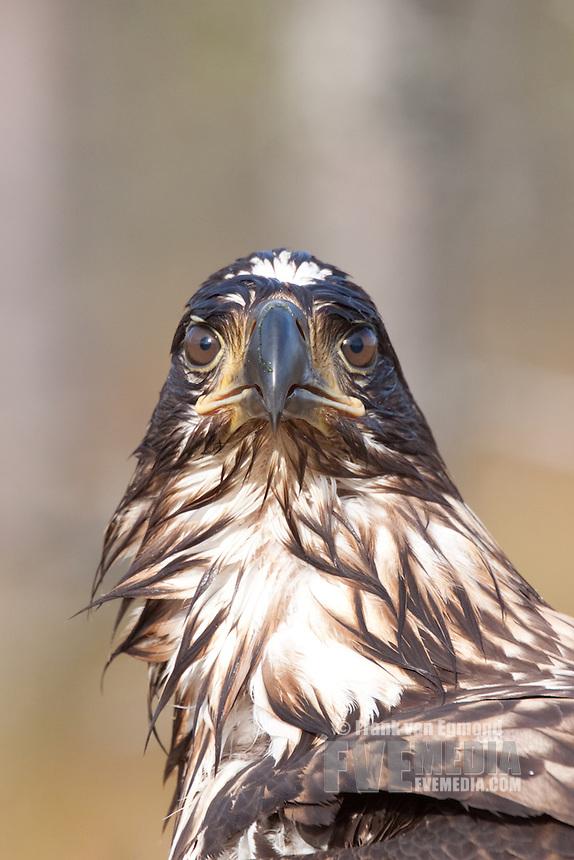 White-tail Eagle (Haliaeetus albicilla)..Estonia.