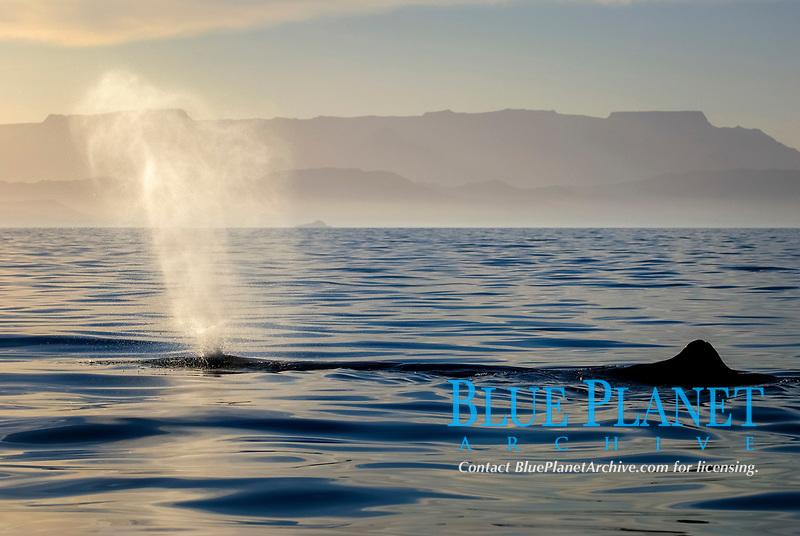 Sperm whale(physeter macrocephalus) Gulf of California.The blow of a sperm whale., Baja California, Mexico, Pacific Ocean