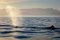 Sperm whale(physeter macrocephalus) Gulf of California.The blow of a sperm whale., Baja California, Mexico, Pacific Ocean