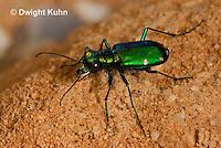 1C35-512z   Six-spotted Green Tiger Beetle - Cirindela sexguttata