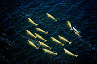 beluga whales, Delphinapterus leucas, swimming in peaty water at the mouth of Seal River, in Hudson Bay, Manitoba, Canada