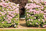 Rhododendron in bloom with thru pathway ..