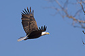 00370-014.14 Bald Eagle (DIGITAL) adult in flight with tree in foreground.  Bird of prey, raptor, predator, bird, birding.  H3R1