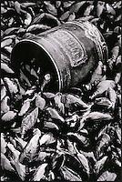 Europe/France/Picardie/80/Somme/Baie de Somme/Le Crotoy:  Moules de Bouchot de la baie de Somme chez  Charles Derosière myticulteur