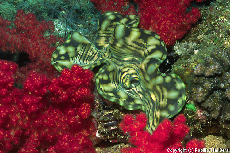 Boring Giant Clam with Soft Coral.(Tridacna crocea with Dendronephthya sp.).Fiji