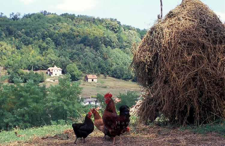 Guca (Cacak). Gallo e galline tra covoni di fieno in una fattoria --- Guca (Cacak). Rooster and chickens amidst hay sheaves in a farm