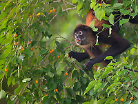I like to visit Costa Rica during the fruiting season, when wildlife activity is heightened.