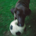 Brown Labrador Playing Outside with Soccer Ball