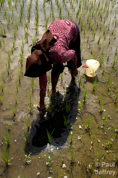 A woman plants rice near Patalan, on the Indonesian island of Java. Rice is the staple food of the Javanese diet.