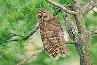 Barred Owl (Strix varia) sitting in small tree on edge of swamp.  Southern U.S.