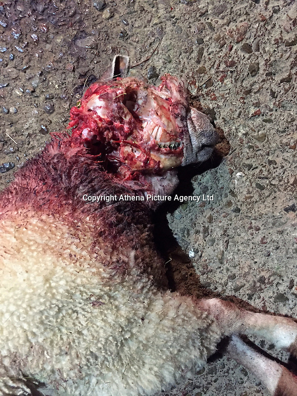 Pictured: One of the savaged sheep owned by Tom Hadley.<br /> Re: Twenty armed police and a helicopter were called out to an incident of sheep worrying in Pencombe, Herefordshire.<br /> Two dogs broke into a field to savage 56 lambs in what a farmer described as &quot;like something from a horror movie&quot;.<br /> Some terrified lambs were mauled to death while others had their noses and ears chewed off.<br /> Police in flak jackets surrounded the field but held fire in the hope of catching the two pet bull mastiffs.<br /> But farmer Tom Hadley fired his shotgun at one of the dogs which ran off into woods.<br /> Tom, 23, said: &quot;It was absolute carnage, the dogs were attacking my lambs for fun.