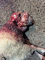 Pictured: One of the savaged sheep owned by Tom Hadley.<br />