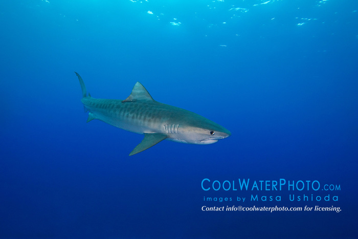 Tiger Shark, Galeocerdo cuvier, West End, Bahamas, Atlantic Ocean