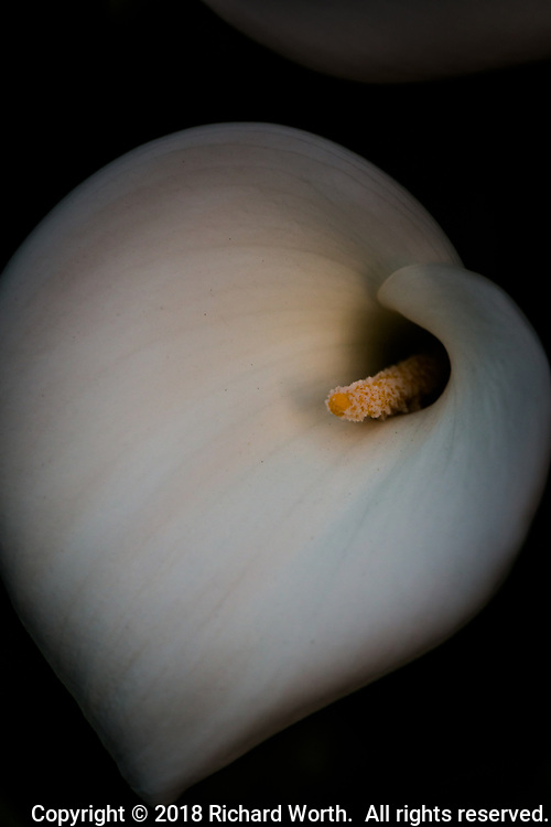A calla lily glows in evening light.