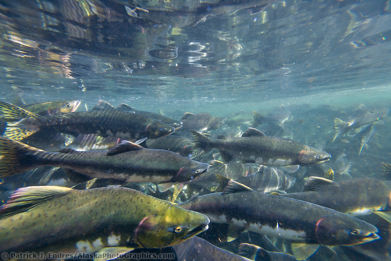 Pink Salmon spawn in stream adjacent to the Sitka Sound, Fairbanks, Alaska.