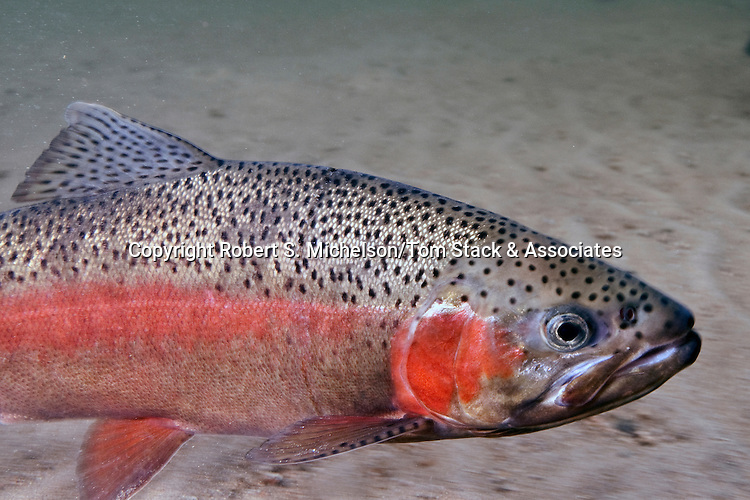 Rainbow Trout close-up