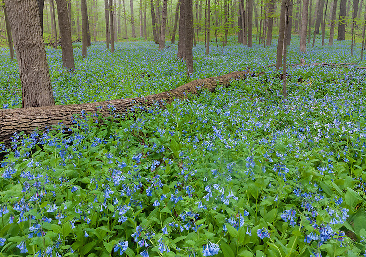 Morning light in the fog on a field of Virginia Bluebells (Mertensia virginica) at The Morton Arboretum; Lisle, IL