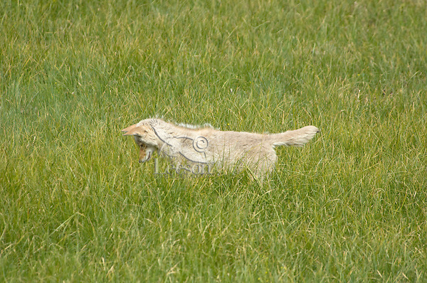 Coyote (Canis latrans) listening for vole.  Western U.S., Summer.