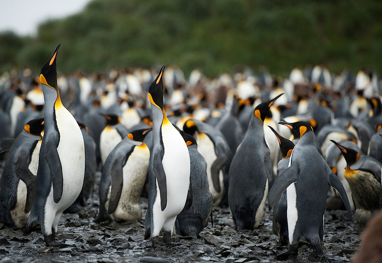 King Penguin (Aptenodytes patagonicus) , Salisbury Plain, South Georgia