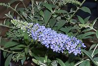 Buddleja 'Buzz Sky Blue' aka Buddleia butterfly bush closeup of bloom flowers