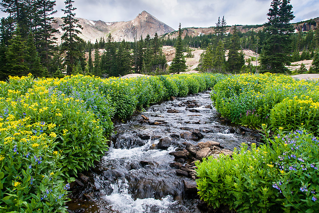 lush wildflowers line stream on summer morning in the wilderness of Rocky Mountain National Park, Colorado, USA
