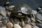 painted turtle, Chrysemys picta, on the rocks, captive, not released