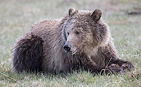 """The Lake Butte Subadult, a.k.a. """"Snow,"""" was foraging and resting near Yellowstone Lake one morning."""